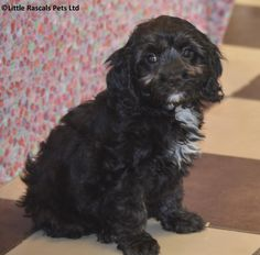 Playful Cavapoo little boys and girls - Designer and Cross Breed Puppies For…