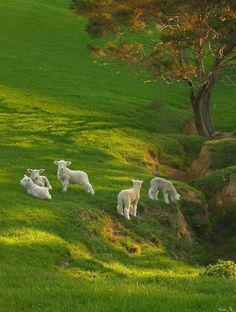 Spring lambs on the hill