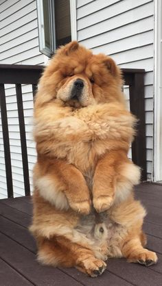 Vote for Ben in the Chow National Banquet Fundraiser. Cute Funny Dogs, Cute Funny Animals, Cute Baby Animals, Beautiful Dogs, Animals Beautiful, Chow Chow Dogs, Cute Dogs And Puppies, Doggies, Fluffy Dogs