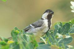 Burung Gelatik Batu atau sebagian orang juga menyebutnya sebagai gelatik Wingko menjadi salah satu burung incaran penghobi burung baru-baru ini, meski sampai tahun 2010 burung yang satu ini memang …