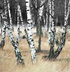 Herbstlicher Birkenwald – Autumnal birch forest