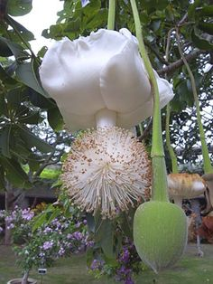 Baobab tree flower, Southern Africa/ Namibia 2015 ☆☆☆ Floresce a cada 50 anos ☆☆☆ Bloom every 50 years Strange Flowers, Unusual Flowers, Unusual Plants, Rare Flowers, Rare Plants, Exotic Plants, Cool Plants, Amazing Flowers, White Flowers