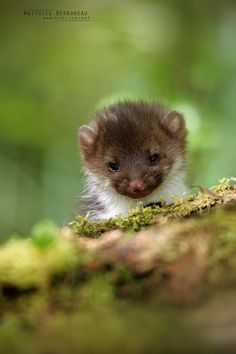 https://flic.kr/p/GKF6T1 | Beech marten, Martes foina | Fouine  Follow on 500px  Follow on Facebook