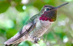 Anna's hummingbird http://www.skynursery.com/wintering-hummingbirds-puget-sound-area/