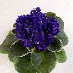 update now! Just  named is Vat-Vera FeyaI!  #AVSA #africanviolet #indoorplant #houseplant #saintpaulia #senpolia #africanvioletlovers #fialka #africanvioletsocietyofamerica #flowers #bloom #fialki #vatviolets