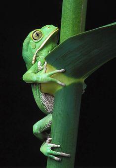 Monkey Frog on cane