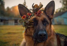 German Shepherd Flower Girl