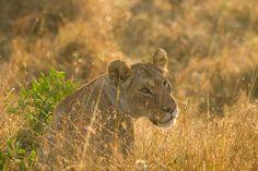 Sunrise lion | Endless Wildlife