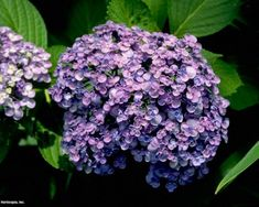 hydrangea garden care hydrangea garden care landscaping with . hydrangea garden care hydrangea garden care Landscaping with hydrangeas # decorationideas Hydrangea Macrophylla, Hydrangea Bloom, Hydrangea Not Blooming, Hydrangea Garden, Hydrangeas, Hydrangea Shrub, Garden Care, Garden Show, Nature