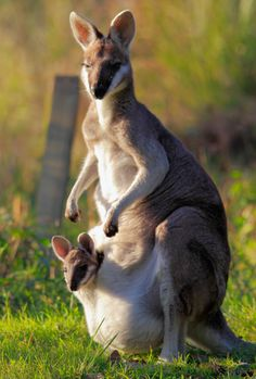 A wallaby mum and joey. Joeys will stay in the pouch until they have all their fur and are able to jump by themselves. Some bigger joeys still like the comfort of mum's pouch.