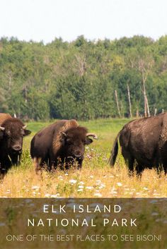 I highly recommend including Elk Island National Park in your travel planning to Canada. You get to experience the adventure of hiking with bison, the largest land animal in North America!