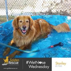 On this #wetnosewednesday , Stanley 1760 would like to remind everyone that a soak in the tub is a great way to relax when life gets hectic. #goldenretriever #rescuedog #secondchances #adoptdontshop Second Chances, Ways To Relax, Rescue Dogs, Wednesday, Animals, Life, Happy, Summer, Animales