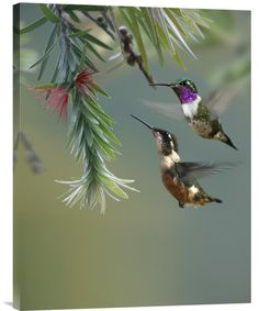 White-Bellied Woodstar Hummingbird Male and Female Feeding on Flower,