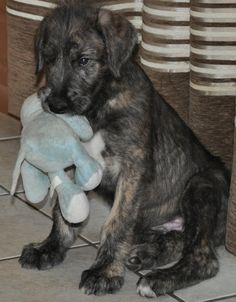 Irish Wolfhound Puppies Prices | Irish Wolfhound pup_cute puppy pictures.PNG