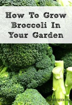 Broccoli is perfect for your Spring Garden and almost ready to go in the ground in some zones.  Learn how to grow broccoli in your garden for the best yield this year!