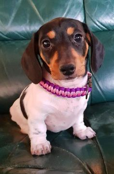 Piebald Dachshund, Long Haired Dachshund, Dachshund Puppies, Dachshund Love, Cute Puppies, Dogs And Puppies, Wiener Dogs, Toy Dogs, Chihuahua Dogs