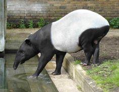 Самый крупный представитель рода тапиров — это Tapirus indicus, или чепрачный тапир. Встретить его можно в Малайзии, Мьянме, Таиланде, а так же на острове под названием Суматра. Взрослая особь этого тапира достигает двух метров в длину и весит до трёхсот пятидесяти килограмм.