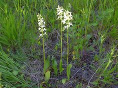 wild orchids from norway Wild Orchid, Orchids, Norway, Plants, Gardens, Plant, Planets, Orchid