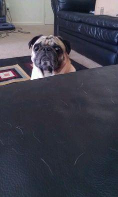 Boris is pug stalking!