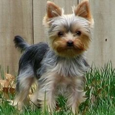 sweet precious yorkie haircut!  Little Roux!