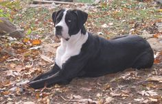 "Xena- Saint Bernard/Great Dane mix ""Saint Dane"""