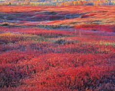 Sunrise and Autumn Blueberries by Christopher Burkett  Maine 1994