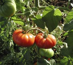 Tomato Seeds For Sale Marmande Bulk Seeds 1,000
