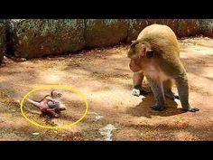 Super brave baby Maci run follow king Marcus till collapse 1-2round,Best Video Maci talk love Marcus - YouTube Monkeys, Brave, Elephant, Super Cute, King, Running, Pets, Youtube, Animals