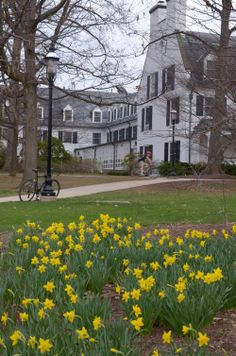 4/14/14 -- Daffodils brighten a dull morning near the Nittany Lion Inn, a favorite of travelers and locals alike.