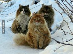I present to you Norwegian wild cats