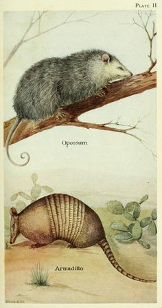 Opossum and armadillo. Field book of North American mammals New York,G. P. Putnam's Sons,1928. Biodiversitylibrary. Biodivlibrary. BHL. Biodiversity Heritage Library.