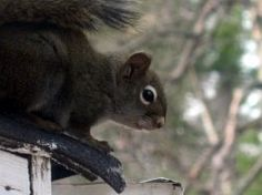 Not everyone likes to rent out space in their attic to squirrels, especially when the little critters fail to pay their rent on time. The first...