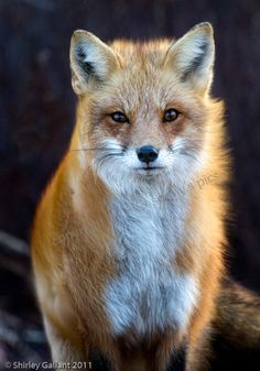 Autum Wind Fox 5x7 Print by SonnysPics on Etsy, $15.00                                                 youtube video downloader