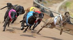The bodies of at least 55 greyhounds have been found in central Queensland bushland.