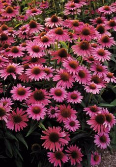 Dog Nursery, Plant Nursery, Sun Garden, Garden Plants, House Plants, Echinacea Purpurea Magnus, Digging Dogs, Pink Perennials, Mail Order Plants