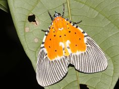 Peridrome orbicularis photographed in Kep national park