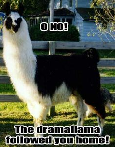 Drama Lamas must be attracked to girls. Funny Animal Pictures, Funny Animals, Cute Animals, Animal Puns, Funny Images, Funny Pics, Alpacas, Lonely Planet, Funny Cute