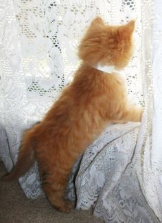 Fuzzy Butt Kitty has her way with the new curtains. Cute Kittens, Kittens And Puppies, Baby Kittens, Ragdoll Kittens, I Love Cats, Crazy Cats, Beautiful Cats, Animals Beautiful, Baby Animals