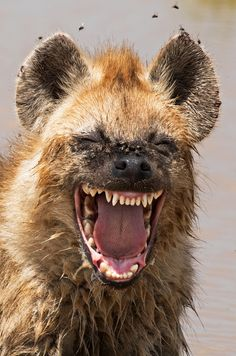 """finalists of the 2016 Comedy Wildlife Photography Awards """"Laughing"""" hyena in Tanzania. Credit: Yaron Schmid/Comedy Wildlife Photography Awards""""Laughing"""" hyena in Tanzania. Smiling Animals, Laughing Animals, Happy Animals, Animals And Pets, Funny Animals, Cute Animals, All Animals Photos, Crazy Animals, Pretty Animals"""