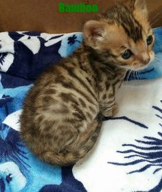 CocoBana Bengal Babies Snow Girl, Bengal Cats, Cat Breeds, Baby, Animals, Cat, Animales, Animaux, Animal