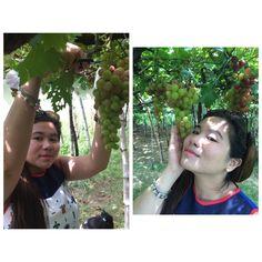 Grape picking at La Union