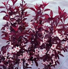 Purple Leaf Flowering Plum Shrub...had one of these in the front yard of the first house I purchased...was so beautiful and smelled like CANDY when it bloomed ;)