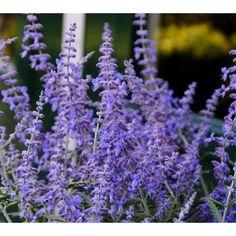 Planting Lavender Outdoors Landscapes