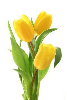 Annual plants yellow tulips, amsterdam tulips, happy birthday t. Purple Tulips, Tulips Flowers, Exotic Flowers, Amazing Flowers, Yellow Flowers, Spring Flowers, Beautiful Flowers, Tulips Garden, Planting Flowers
