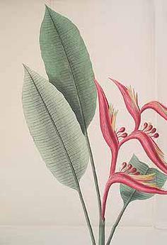 307121 Heliconia subulata Ruiz & Pavon / Kerner, J.S., Hortus sempervirens, vol. 36: t. 421 (1815) [J.S. Kerner]