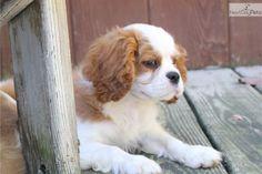 Sadie: Cavalier King Charles Spaniel puppy for sale near Akron / Canton, Ohio | 6652ac3d-3151