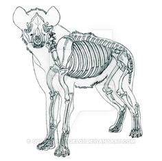 The next process for my Animal Anatomy class. We were to choose an animal of our choice and must now go the three week process of doing the skeletal sys. Dog Anatomy, Animal Anatomy, Anatomy Art, Skeleton Anatomy, Skeleton Art, Animal Sketches, Animal Drawings, Hyena Tattoo, Animal Skeletons