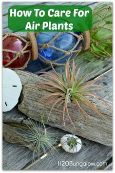 How to care for air plants so they grow and multiply.
