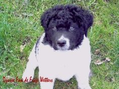 wetterhoun puppy