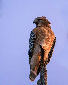 Wake up Call - A Red-Shouldered Hawk announces its presence during sunrise at Brazos Bend State Park